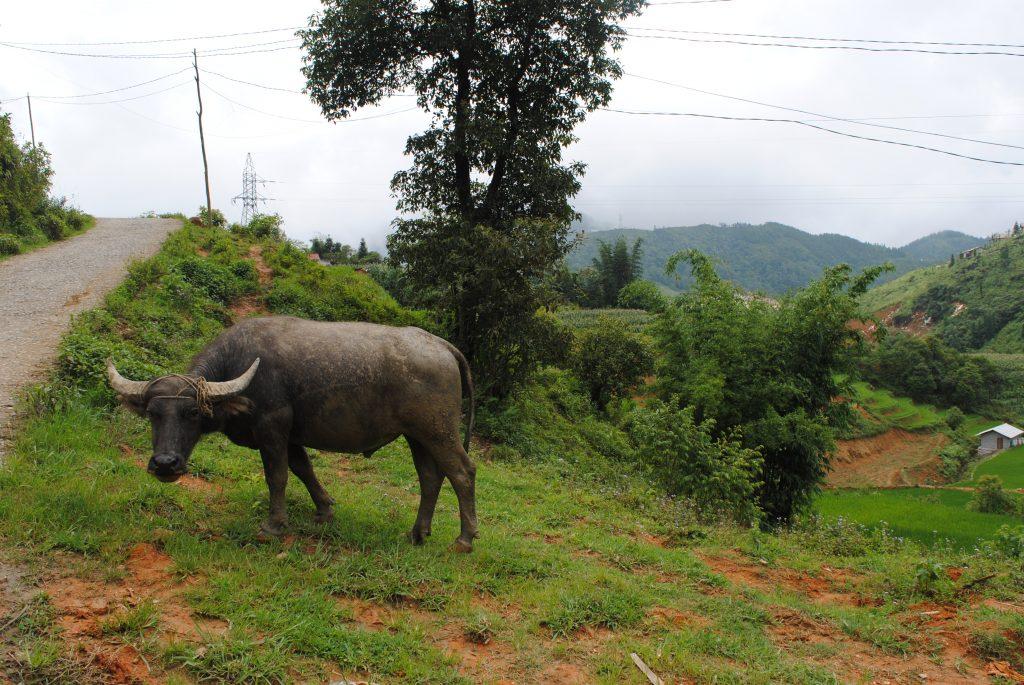 Bufalo a Sa-Pa